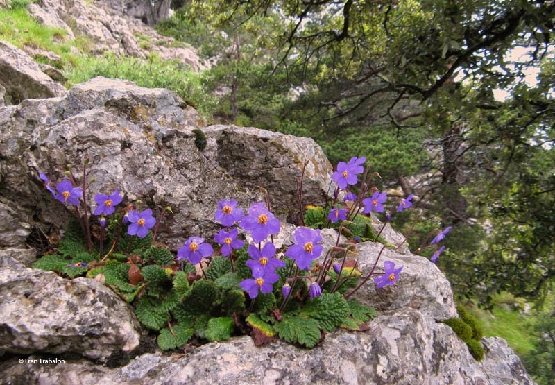 Pyrenean Violet